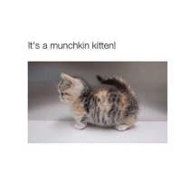 S'cute: It's a munchkin kitten! S'cute