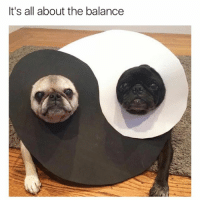 Pugs yin yang (@hilarious.ted): It's all about the balance Pugs yin yang (@hilarious.ted)