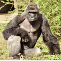 It's been two months since the slaying of our friend Harambe, the creator of /r/circlejerk. This post will reach 2,000 UpSads in his honor.