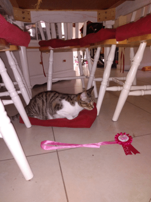 It's my cat's birthday!!! But she hates the ribbon.😂: It's my cat's birthday!!! But she hates the ribbon.😂