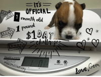 """HUGE MILESTONES!! I officially am one month old today. Not sure how I got here but let's keep it going! I officially weigh a whopping one pound!!! I am still a mega peewee but this is huge!!! So since I have so many """"ones or firsts"""" I CHALLENGE you to all send one dollar today to the mission that saved me.     1+1+1= saving more just like me!!   Paypal, macthepitbull@yahoo.com  Mailing address:  Mac's Mission  PO Box 444 Cape Girardeau Mo  63702-0444   Thank you and let's see what this will add up to!! Thanks everyone!!!   Smoochies, GemmieGirl: ITS  OFFICIAL  1 month old  ound.  1 r  Health o meter  ON/TARE/OFF kg/lb  ission o  Com  love, HUGE MILESTONES!! I officially am one month old today. Not sure how I got here but let's keep it going! I officially weigh a whopping one pound!!! I am still a mega peewee but this is huge!!! So since I have so many """"ones or firsts"""" I CHALLENGE you to all send one dollar today to the mission that saved me.     1+1+1= saving more just like me!!   Paypal, macthepitbull@yahoo.com  Mailing address:  Mac's Mission  PO Box 444 Cape Girardeau Mo  63702-0444   Thank you and let's see what this will add up to!! Thanks everyone!!!   Smoochies, GemmieGirl"""