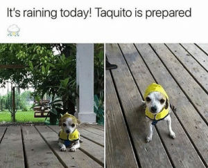 Animals, Funny, and Memes: It's raining today! Taquito is prepared 42 Funny Dog Memes That'll Make Your Day! - Lovely Animals World