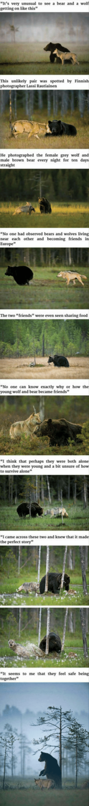 "Being Alone, Food, and Friends: ""It's very unusual to see a bear and a wolf  getting on like this  This unlikely pair was spotted by Finnish  photographer Lassi Rautiainen  He photographed the female grey wolf and  male brown bear every night for ten days  straight  ""No one had observed bears and wolves living  near each other and becoming friends in  Europe  The two ""friends"" were even seen sharing food  ""No one  young wolf and bear became friends  can know exactly why or how the  ""I think that perhaps they were both alone  when they were young and a bit unsure of how  to survive alone  ""I came across these two and knew that it made  the perfect story""  ""It seems to me that they feel safe being  together Just a wholesome friendship :)"