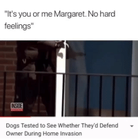 "Dogs, Funny, and Lmao: ""It's you or me Margaret. No hard  feelings""  INSIDE  EDITION  Dogs Tested to See Whether They'd Defend  Owner During Home Invasion Lmao damnn😂"
