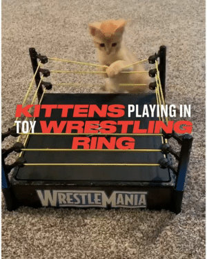 Who knew the best way to entertain kittens was just to buy them a wrestling ring? 😂🐱: ITTENS PLAYING IN  TOY WRESTLIN  RING  WRESTLEMANIA Who knew the best way to entertain kittens was just to buy them a wrestling ring? 😂🐱