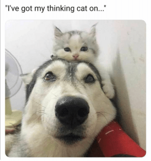 """35 Extremely Hard Try Not To Laugh Challenge Funniest Animals Compilation - JustViral.Net: """"I've got my thinking cat on..."""" 35 Extremely Hard Try Not To Laugh Challenge Funniest Animals Compilation - JustViral.Net"""