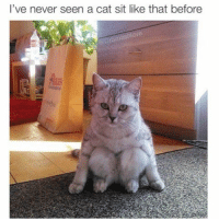 Cats, Memes, and 🤖: I've never seen a cat sit like that before This feline look like it just asked me where I was last night and if I answer wrong, she gon pounce on my face and claw my eyeballs out 😫 iWasWithTheHomies iPromise WhichHomies iCantRemember PleaseDontKillMeBaby iLoveYou 😂😂😂
