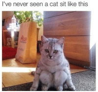 Cats, Memes, and Never: I've never seen a cat sit like this