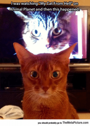 epicjohndoe:  Watching 'My Cat From Hell' When Suddenly…: Iwas watching MyCat From HellP on  Animal Planet and then this happened  you should probably go to TheMetaPicture.com epicjohndoe:  Watching 'My Cat From Hell' When Suddenly…