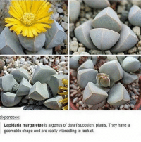 it's......so perfect??? also minecraft - Max textpost textposts: ixpenceee:  Lapidaria margaretae is a genus of dwarf succulent plants. They havea  geometric shape and are really interesting to look at. it's......so perfect??? also minecraft - Max textpost textposts