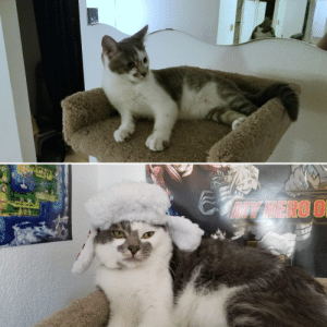My roommate got Luffy a year ago today. From lithe kitten to a derpy chonk.: IY HERO O My roommate got Luffy a year ago today. From lithe kitten to a derpy chonk.