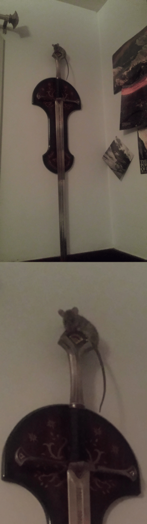 arahir: arahir: all night long the sword on the wall above my bed has been rattling and i finally woke up all the way and went wtf and turned on the light and found this.  @ those of you saying this is cute… that's a feral rat. a feral rat hovered over my head watching me sleep for three hours while trying to figure out how to assassinate me with a longsword. thanks.  : IyF  IP arahir: arahir: all night long the sword on the wall above my bed has been rattling and i finally woke up all the way and went wtf and turned on the light and found this.  @ those of you saying this is cute… that's a feral rat. a feral rat hovered over my head watching me sleep for three hours while trying to figure out how to assassinate me with a longsword. thanks.
