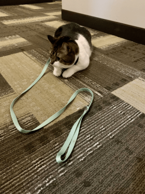 J-Roc is having a tough time getting used to his new leash: J-Roc is having a tough time getting used to his new leash