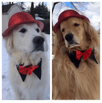 Memes, Calendar, and Golden Retriever: Jack O and I are ready to ring in the new year! Wheres the party at!? We hope everyone has a great night celebrating but make sure to stay safe out there! 2017 we're ready for you!  ****LAST CHANCE to order your 2017 Ray Charles the Golden Retriever calendar**** http://ray-charles-the-golden-retriever.myshopify.com