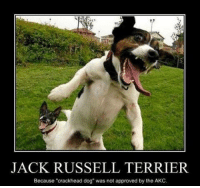 "Crackhead, Dogs, and Memes: JACK RUSSELL TERRIER  Because ""crackhead dog"" was not approved by the AKC, Crackhead dog!"