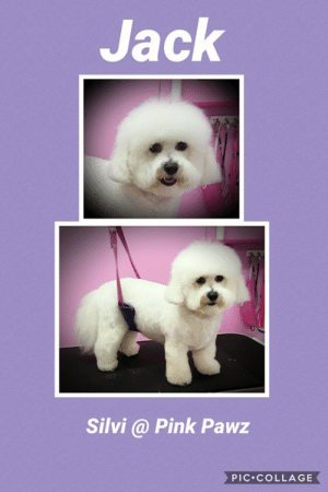 Life, Memes, and Collage: Jack  Silvi @ Pink Pawz  PIC COLLAGE So this little cutie likes to live life to the fullest so adapted from traditional bichon style to this, more suitable shorter version to suit his busy lifestyle 😍