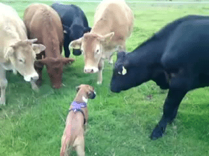 "jack-the-lion:  thefingerfuckingfemalefury:  asongofmeandstuff:  thefingerfuckingfemalefury:   boldlygo-vegan:  orangevegan:  thebestoftumbling:  HELLO SMALL COW  *SNIFF SNIFF*  What gets me is that after the dog realized they were kinda scared, he/she lied down so the cows could be in control and feel safer. Such love. Animals are amazing.   They want these Large Doges to feel happy and good :)   Yesss the DOGGO showed them that they no threat ""HELLO MILK DOGS I AM BORK DOGE I AM FRIEND""   ""Hi! Oh, you are scared? *lies down* I am not scary. See?"" : jack-the-lion:  thefingerfuckingfemalefury:  asongofmeandstuff:  thefingerfuckingfemalefury:   boldlygo-vegan:  orangevegan:  thebestoftumbling:  HELLO SMALL COW  *SNIFF SNIFF*  What gets me is that after the dog realized they were kinda scared, he/she lied down so the cows could be in control and feel safer. Such love. Animals are amazing.   They want these Large Doges to feel happy and good :)   Yesss the DOGGO showed them that they no threat ""HELLO MILK DOGS I AM BORK DOGE I AM FRIEND""   ""Hi! Oh, you are scared? *lies down* I am not scary. See?"""