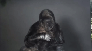 """Animals, Complex, and Food: jackafz:  diamond-dogsick:  jackafz:  earthenwares:  typewriterdaily:  bruises-bedtimestories:  niadil:  Koko, a female gorilla that can communicate using sign language has a message for mankind.  This is unbelievable why doesn't this have more notes what the actual fuck  holy actual fuck  if she decided to say this herself w/out direction then like??? oh my GOD  This is so important  Omg you freaks watch the PBS documentary on her!!!! It's unreal and she's my hero  OMG I'm already stanning for her. The queen of pop!!   this made me cry. we have ruined the world, and it is our responsibility to protect the earth that gave us life, that gives us food, shelter, that inspires awe and wonder. We have to protect the species who did nothing to deserve a world where their deaths seem imminent. This planet is all we have. There is nothing else to do and nowhere else we can go. Sure some of us can go to mars but there are almost 7 billion people on earth. Also, it is immoral to escape this planet and leave it behind because we killed everything that lived in it. we HAVE to start putting environmentalism at the TOP of our list. Rich countries must help poor countries. We must do it for ourselves but also for the countless species that did nothing to deserve this. If you know anything about biology/ecology, in a sense, we are all in this together. We are all related genetically since we all came from a common ancestor. We are interconnected genetically, but also for survival.. it is a complex chain that often depends on antecedent parts within that """"chain/web/tree"""". For example, without bees, certain birds, certain animals, we will have no food, flowers, fruits, etc. We are all in this together because we depend on each other. Humans have a little leeway since we have technology and science to help us """"beat"""" this chain reaction, but there will be a point where a decrease in plant and animal biodiversity will kill us off too- no matter how hard we tr"""