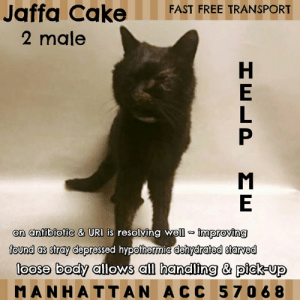 "Cats, Children, and Click: Jaffa Cake  FAST FREE TRANSPORT  2 male  on anfibiofic & URI is resolving well improving  found as stray depressed hypothermic dehydrated starveed  loose body allows all handling & pick-up  MANHATTAN ACC 5706 8 MANHATTAN ACC ADOPTABLE   Sweet Jaffa Cake was found as a stray, dehydrated,  emaciated, hypothermic and suffering from upper respiratory infection.  He's improving and is on antibiotics.  He is a sweet boy and allows all handling and pick-up.  Jaffa Cake #57068  2Y Male 4.8lbs.  Black DSH  Intake: Stray 3/14/19  Medical:  Vet Consultations  Date  Reasons  Vet Notes  Vet  Date Resolved  16-Mar-2019  Progress Exam  Vet Notes: 2:46 PM  s/O - pt BAR - attention seeking. Eating food bowl during examination. Skin tent prolonged R - wnl EENT - mucoid nasal and ocular discharge Abdomen - soft non painful  MSK - ambulatory x 4 CNS - normal mentation  A  - PT eating and drinking attention seeking - URI stable - Hydration improving   P  - Cont on current tx plan - Add doxycycline 10 mg/kg PO after IV ampicillin complete x 10 days        15-Mar-2019  Tech Exam  L V T Notes: 3:46 PM  CBC/CHEM performed and stored in vet documents. Intake DVM advised. 22g IVC placed on RFL. IVF Bolus 20mls/15min. IVF rate @ 8mls/hr. Administered Ampicillin injectable @ 3:45pm        15-Mar-2019  Spay-Neuter Waiver Documentation  Vet Notes: 3:17 PM  [Spay/Neuter Waiver - Temporary]  Your newly adopted pet has been diagnosed with AN URI and the staff veterinarians are issuing a TEMPORARY waiver from the spay/neuter requirements of the City of NY. Follow up care at your regular veterinarian is recommended to ensure continued treatment through to the resolution of the issue. At the time of a full recovery you may choose to have your veterinarian perform the spay/neuter surgery, or make provisions to return the pet to ACC for sterilization.        15-Mar-2019  DVM Intake  Vet Notes: 3:18 PM  [DVM Intake] DVM Intake Exam  Estimated age: 8-10 Microchip noted on Intake? No Microchip Number (If Applicable):  History : Surrendered stray  Subjective: Depressed, dehydrated mod to severe   Observed Behavior - Ill cat, difficult to evaluate  Evidence of Cruelty seen - None observed  Evidence of Trauma seen - None observed  Objective   T = 98.7 P = 160 R = wnl BCS 1-2/9  EENT: Crusted Nasal and ocular d/c OU w/conjunctivitis Oral Exam:Mod to severe dental dz PLN: No enlargements noted H/L: NSR, NMA, tacky to dry mm Severe RUA ABD: Non painful, no masses palpated U/G: Prepuce swollen, bladder mod and soft, left testicle palpates smaller than right MSI: Ambulatory x 4, unkempt coat CNS: depressed   Assessment: Depressed Dehydrated Dental disease Hypothermic URI  Prognosis: guarded  Plan: CBC nsf Chem  BUN 52 (16-36) r/o pre renal, renal Globulin 5.4 (2.8-5.1) r/o dental dz  Ca 7.4 (7.8-11.3) Heat support recheck rectal temp at 6 pm IVC LRS 20 ml bolus Ampicillin 250 mg/ml 0.2 ml iv bid x 5 days Erythromycin OU TID x 8 days Mirtazipine sid x 5 days. Rec start doxycycline when hypothermia resolves  SURGERY:  Temporary waiver due to URI        15-Mar-2019  LVT Intake   L V T Notes: 4:23 AM  [LVT Intake Exam]  Microchip Scan: negative, placed 985113002409767 Evidence of Cruelty: no Observed Behavior: allows all handling but somewhat shut down and resistant to restraint (possibly due to compromised airway) Sex: intact male Estimated Age: appx 2-5y  Subjective: found as a stray, no history; congested with thick dried d/c around eyes and nares, dull coat and dirty, possible URI? Eyes: chemosis Ears: clean Oral Exam: incisors seem damaged, mild to moderate staining Heart: WNL Lungs: WNL Abdomen: WNL Musculoskeletal: underweight 3.5/9 BCS Mentation: QAR, dehydrated (prolonged turgor, tacky mm)  Preliminary Assessment: possible URI  Plan: DVM intake, gave 40ml LRS SQF, cleaned face with warm compress, added shield over cage (awaiting move to iso)                 Profile:  Animal ID: 57068  Animal Name: Jaffa Cake  Breed: Domestic Short Hair  This animal came from:  Found Stray  Origin Address  Spay/Neuter status  Unknown  Date of Intake  14-Mar-2019  If yes, Please elaborate:  Unknown  Basic Information:  Jaffa Cake is a domestic short hair male, estimated to be 2 years old. Jaffa Cake was surrendered because he looked to be ill.   Previously lived with:  Unknown  How is this cat around strangers?  Unknown  How is this cat around children?  Unknown  How is this cat around other cats?  Unknown  How is this cat around dogs?  Unknown  Behavior Notes  Unknown  Bite history:  Jaffa Cake did not bite or scratch finder.   Energy level/descriptors:  Unknown  Has this cat ever had any medical issues?  Yes  Medical Notes  Jaffa Cake has crusted mucus in both airways of his nose, making it hard to breathe. Jaffa Cake can barely open his eyes and also looked to be underweight.   For a New Family to Know  Unknown     Behavior Notes:  Jaffa had a loose body, but allowed me to collared, scanned for a microchip and allowed to be picked up to be placed in a kennel.    PLEASE CONSIDER SAVING THE LIFE of a NYC ACC Death Row cat with your immediate offer to adopt.   TO GET STARTED IMMEDIATELY SEND A PRIVATE MESSAGE TO THIS PAGE (click ""Send Message"" from our home page). We will respond asap.  You will complete an app with a registered 501(c)3 New Hope Rescue Partner,  approved to pull cats from the NYC ACC (shelter). We will immediately alert the rescue of your incoming app.  Adoption fees are currently WAIVED, there is fast, free transport.    ABOUT TRANSPORT: With your approved app there is FAST, FREE TRANSPORT to your home up to a 4 hr. radius outside of NYC, including all or part of NY, NJ, CT, PA, NH, VT, RI, MA, MD, DE & DC (see transport map provided). More distant adopters can meet the transport van, (i.e. a NC or VA adopter could meet in MD or DC, or an OH adopter could meet  in PA).    ABOUT KITTENS: Kittens under 8 wks old & 2 lbs in weight are NOT PUBLICLY ADOPTABLE due to their fragility.  They can only be pulled by a rescue for specially-trained pre-approved kitten foster homes in NY, NJ & CT.  For more info PM us.  Kittens over 8 weeks and 2lbs should preferably go in PAIRS.   ABOUT PLEDGES: Pledges are directly paid to the 501(c)3 NEW HOPE RESCUE PARTNER that pulls the the cat. Pledges do not guarantee a cat's life will be spared but may help a rescue org decide if they can afford to pull the cat and cover his/her vet expenses.  ABOUT US : MLC is 100% volunteer run page, we can't pull cats, we are not a rescue, not affiliated with the nyc acc."