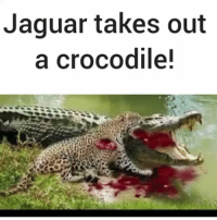 No one is safe!!!! @pmwhiphop: Jaguar takes out  a crocodile! No one is safe!!!! @pmwhiphop