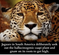 damn hippies lol: Jaguars in South America deliberately seek  out the hallucinogenic caapi plant and  gnaw on its roots to get high. damn hippies lol