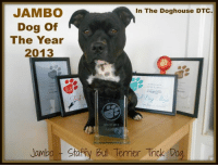 "Dating, Memes, and Bulls: JAMBO  In The Doghouse DTC  Dog of  The Year  2013  DOG OF 2013  Jambo Sta  Bull Terrier Trick Dog Hey guys been getting a couple of messages regarding ""How to stop your dog being aggressive"" So Louise Stapleton-Frappell trainer of Jambo - Staffy Bull Terrier Trick Dog."" has kindly wrote a up to date cutting edge article on the subject. http://bit.ly/1i1w9SX  Enjoy 【ツ】  ** MOBILES** http://on.fb.me/1ffEKf9"