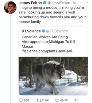 Family, Michigan, and Wolf: James Felton@JimMFelton 1d  Imagine being a moose, thinking you'ree  safe, looking up and seeing a wolf  parachuting down towards you and your  moose family  IFLScience @IFLScience  Canadian Wolves Are Being  Airdropped Into Michigan To Kill  Moose  iflscience.com/plants-and-ani..  365 t11.9K 49.7K Here we go