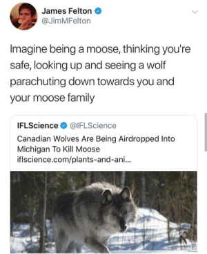 Michigan, Wolf, and Canadian: James Felton  @JimMFelton  Imagine being a moose, thinking you're  safe, looking up and seeing a wolf  parachuting down towards you and  your moose ramily  IFLScience@IFLScience  Canadian Wolves Are Being Airdropped Into  Michigan To Kill Moose  iflscience.com/plants-and-ani... He didnt see that coming