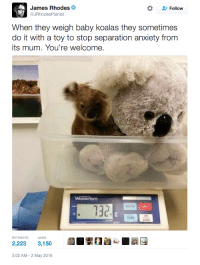 <p>Es habitual que al pesar a crías de Koala les acompañe un peluche para controlar sus nervios</p>: James Rhodes  @JRhodesPianist  Q  Follow  When they weigh baby koalas they sometimes  do it with a toy to stop separation anxiety from  ts mum. You're welcome.  MODE  130  oST  TARE  RETWEETS  LIKES  2,223 3,150  3:02 AM-2 May 2016 <p>Es habitual que al pesar a crías de Koala les acompañe un peluche para controlar sus nervios</p>