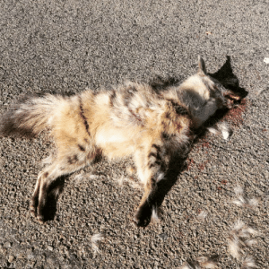 jamesborrell:  Found this super fresh roadkill in the Karoo, poor chap. Can anyone ID? We thought it could be an Ardwolf!?   We briefly upset a feeding goshawk to get this photo, but he came back as we drove off. #roadkill #southafrica #ardwolf #conservation #overland #citizenscience : jamesborrell:  Found this super fresh roadkill in the Karoo, poor chap. Can anyone ID? We thought it could be an Ardwolf!?   We briefly upset a feeding goshawk to get this photo, but he came back as we drove off. #roadkill #southafrica #ardwolf #conservation #overland #citizenscience