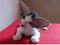 jamiebenngal14: tahthetrickster:  cryptowitchery:   tahthetrickster: pls stop scrolling for a moment to properly appreciate this oriental shorthair kitten but like..,.,, will he Grow Into Them????   not really………..    GOOD.  : jamiebenngal14: tahthetrickster:  cryptowitchery:   tahthetrickster: pls stop scrolling for a moment to properly appreciate this oriental shorthair kitten but like..,.,, will he Grow Into Them????   not really………..    GOOD.