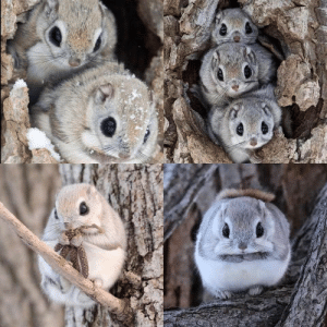 Japanese dwarf flying squirrel- I think these will never get old, they are the cutest!(via): Japanese dwarf flying squirrel- I think these will never get old, they are the cutest!(via)