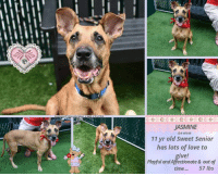 "Children, Click, and Dogs: JASMINE  IDH 46109  11 vr old Sweet Senior  has lots of love to  give!  Playful and Affectionate & out of  time ...57 lbs TO BE KILLED 11/9/18  Meet Jasmine! This gorgeous older lady needs a forever home @MACC - Sweet Seniorgirl has lots of love to give Playful, Affentionate & Out of time...please watch Jasmine's Video and step up before its to late.   A volunteer writes:   Jasmine is a very enjoyable dog to spend time with. She is so pretty, foxy like, an 11 year old golden gal so happy to be with a friend and play ball in the yard. Jasmine is full of good energy, running, jumping and catching tennis balls. She sits for treats or a toy, bright eyed and tail wagging, her face full of anticipation. After a while going back and forth after a ball, Jasmine comes to rest by my feet for caresses. She is a good walker, likely house trained and seems fine with dogs neared in the street. In our playgroups, she appears to prefer calm dogs. Jasmine is waiting at the Manhattan Care Center for a new leash on life. Will you be the one opening your door and your heart to this lovely and spunky senior?  VIDEOS : <3 Spry Jasmine https://www.youtube.com/watch?v=QhPn96kUMHs Playgroup  https://www.youtube.com/watch?v=-PQwrKIScdY  Jasmine ID# 46109  MANHATTAN ANIMAL CARE CENTER Age: 11 years old Female, Is Vaccinated: Yes, Brown /Black , Weight: 57 lbs. , Intake Date: 10-31-2018  SHELTER ASSESSMENT ~ ADULT ONLY HOME No children (under 13)  BEHAVIOR NOTES:  Means of surrender (length of time in previous home): Owner Surrender (In home for 11 years)  Previously lived with: An adult and a dog  Behavior toward strangers: Friendly  Behavior toward children: Pulls towards them, owner stated she was dangerous around them but did not detail why  Behavior toward dogs: Friendly  Resource guarding: None reported  Bite history: None reported  Housetrained: Yes  Energy level/descriptors: Jasmine is described as affectionate and playful with a high level of activity.  Other Notes: Jasmine will snap at bikes that pass by.  Jasmine is reported to have been destructive in her previous home, ripping up furniture.  SAFER SCORES: Date of assessment: 1-Nov-2018  Look: 1. Dog's eyes are averted, with tail wagging and ears back. Allows head to be held loosely in Assessor's cupped hands.  Sensitivity: 1. Dog leans into the Assessor, eyes soft or squinty, soft and loose body, open mouth.  Tag: 1. Dog follows at the end of the leash, body soft.  Paw squeeze 1: 1. Dog gently pulls back his/her paw.  Paw squeeze 2: 1. Dog gently pulls back his/her paw.  Flank squeeze 1: Item not conducted  Flank squeeze 2: Item not conducted  Toy: 1. Minimal interest in toy, dog may smell or lick, then turns away.  Summary:  Jasmine approached the assessor with a soft body. She was social throughout the assessment, allowed all handling, and displayed no concerning behaviors.  Summary (1):  11/1: When introduced off lash to dogs Jasmine greets politely, engages in brief play. She offers correction for mounting.  Summary (2):  11/2: Jasmine is anxious and paces the yard, ignoring the other dogs.  Summary (3):  11/4: Jasmine rushes over to the helper dog with a stiff body and stands over his back. She then anxiously paces the pen and seeks exit.  Date of intake: 31-Oct-2018 Summary: Tense, whining, pacing  ENERGY LEVEL:  Jasmine is described as having a high level of activity. We recommend long-lasting chews, food puzzles, and hide-and-seek games, in additional to physical exercise, to positively direct her energy and enthusiasm.  BEHAVIOR DETERMINATION:  ADULT ONLY HOME  Recommendations:  No children (under 13)  Recommendations comments:  No children: Jasmine's previous owner reported that she was ""dangerous"" with children, but gave no specifics as to what this meant. Out of an abundance of caution, we recommend an adult only home.  Potential challenges:  Destructive behavior On-leash reactivity/barrier frustration  Potential challenges comments:  Destructive behavior: Jasmine is reported to show destructive behavior in the home, such as chewing on furniture. We are unaware of what, if any, attempts were made to remedy this behavior but we suggest to future adopters that Jasmine will need to be provided with physical and mental stimulation and with a variety of appropriate and engaging chew toys so she can engage in necessary chewing behavior without damage to human objects.   On-leash reactivity/barrier frustration: Jasmine is reported to lunge and snap at bike while on leash and to lunge at children. Jasmine may need positive reinforcement, reward based training to teach her to look at you rather than other dogs. We recommend a front clip harness or head halter to help manage this behavior.   MEDICAL EXAM NOTES   4-Nov-2018 Blood Work Interpretation  Vet Notes: 4:18 PM  CBC - lymphopenia 0.85 (1.05-5.1), monocytosis 1.23 (0.16-1.12) - pattern suggestive of stress leukogram  CHEM - All parameters were within the reference range.  4-Nov-2018 DVM Intake Exam  Estimated age: 11 yo  Microchip noted on Intake? Yes  Microchip Number (If Applicable): 0A10657603  History : Owner surrender  Subjective:  Observed Behavior - Cat reactive  Evidence of Cruelty seen - No Evidence of Trauma seen - No Objective  T = NT  P = 120 bpm  R = eupneic BCS 6/9   EENT: corneas and anterior chambers OU, mild ceruminous AU, no nasal or ocular discharge noted Oral Exam: Limited oral exam due to muzzle, dental calculus and gingivitis noted, worn  PLN: No enlargements noted H/L: Grade 4/6 left systolic heart murmur, NSR, CRT <2 sec , Lungs clear, eupnic ABD: Non painful, no masses palpated U/G: Grossly normal castrated female, no vaginal discharge. Spay scar noted on ventrum.  MSI: Ambulatory x 4, skin free of parasites, no masses noted, healthy hair coat. Excoration noted on nasal planum.  CNS: Mentation appropriate - no signs of neurologic abnormalities Rectal: Externally clean  Assessment  11 yo FS MBD  Grade 4/6 left systolic heart murmur  Nasal excoriation - r/o: secondary to trauma (rubbing) vs. other   Prognosis: Good  Plan:  Recommend 2-view chest rads and echocardiogram  Recommend TAB topically on nasal planum SID x 7d  Recheck nasal planum in 7d  SURGERY: Already spayed   * TO FOSTER OR ADOPT *   HOW TO RESERVE A ""TO BE KILLED"" DOG ONLINE (only for those who can get to the shelter IN PERSON to complete the adoption process, and only for the dogs on the list NOT marked New Hope Rescue Only). Follow our Step by Step directions below!   PLEASE NOTE – YOU MUST USE A PC OR TABLET – PHONE RESERVES WILL NOT WORK! *  STEP 1: CLICK ON THIS RESERVE LINK: https://newhope.shelterbuddy.com/Animal/List  Step 2: Go to the red menu button on the top right corner, click register and fill in your info.   Step 3: Go to your email and verify account  \ Step 4: Go back to the website, click the menu button and view available dogs   Step 5: Scroll to the animal you are interested and click reserve   STEP 6 ( MOST IMPORTANT STEP ): GO TO THE MENU AGAIN AND VIEW YOUR CART. THE ANIMAL SHOULD NOW BE IN YOUR CART!  Step 7: Fill in your credit card info and complete transaction   HOW TO FOSTER OR ADOPT IF YOU CANNOT GET TO THE SHELTER IN PERSON, OR IF THE DOG IS NEW HOPE RESCUE ONLY!   You must live within 3 – 4 hours of NY, NJ, PA, CT, RI, DE, MD, MA, NH, VT, ME or Norther VA.   Please PM our page for assistance. You will need to fill out applications with a New Hope Rescue Partner to foster or adopt a dog on the To Be Killed list, including those labelled Rescue Only. Hurry please, time is short, and the Rescues need time to process the applications."