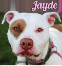 Greetings from the ever so beautiful Jayde. Click here for the adoption application: https://goo.gl/7FhaR0  #Jayde is about 2 1/2 yrs old and searching for a loving home. She is a fun, playful pup who wants nothing more than a lap to sit on and a face to lick. She's just as sweet as she looks and until now, a home is the only place she's ever really known. We would love to see her back in the comfort of a home!!   If you're interested in making her your newest family member, please fill out the adoption application today!!   #JaydeNybc #ForAdoption #AdoptMe #nybc #newyorkbullycrew: Jayde Greetings from the ever so beautiful Jayde. Click here for the adoption application: https://goo.gl/7FhaR0  #Jayde is about 2 1/2 yrs old and searching for a loving home. She is a fun, playful pup who wants nothing more than a lap to sit on and a face to lick. She's just as sweet as she looks and until now, a home is the only place she's ever really known. We would love to see her back in the comfort of a home!!   If you're interested in making her your newest family member, please fill out the adoption application today!!   #JaydeNybc #ForAdoption #AdoptMe #nybc #newyorkbullycrew