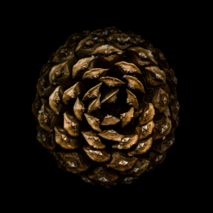 Jeffrey Pine Cone (from bottom) [OC]: Jeffrey Pine Cone (from bottom) [OC]