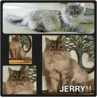 JERRY!! INTRODUCING...JERRY!!!  Jerry is a 1-2 year old silver tabby persian. He is fully vetted (neutered, fiv/felv negative, microchipped, vaccinated, ect) and is ready for his forever home.  Jerry is a Kuwaiti rescue kitty. He is a very, very, very sweet, loving, and affectionate cat. He is great with other cats. And he's cool with dogs.   Jerry is very attached to his fellow silver Kuwaiti kitty, Sergio. Priority will be given to applicants who want to adopt Sergio and Jerry together.   Adoption fee - $175.  Please email us at stxpersianrescue@gmail.com for an adoption application.  Please note: we do not ship or transport our cats. All adopters must come to San Antonio for pick up.