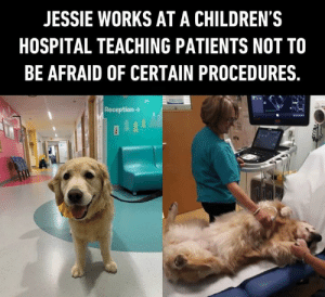 Dank, Children's Hospital, and Hospital: JESSIE WORKS AT A CHILDREN'S  HOSPITAL TEACHING PATIENTS NOT TO  BE AFRAID OF CERTAIN PROCEDURES.  Reception- See? there's nothing to fear!  📹leo_therapy_dog | IG