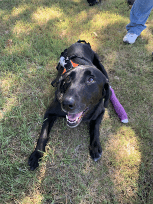 Jet is the latest resident at a Dog Sanctuary I volunteer at. She's paraplegic and a very very good girl.: Jet is the latest resident at a Dog Sanctuary I volunteer at. She's paraplegic and a very very good girl.