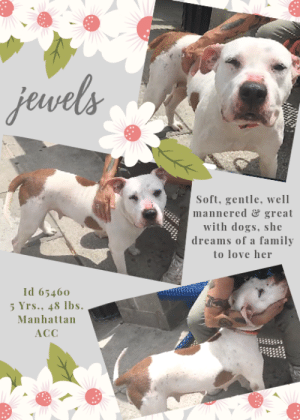 "Cats, Children, and Click: jewels  Soft, gentle, well  mannered &great  with dogs, she  dreams of a family  to love her  Id 65460  5 Yrs., 48 lbs  Manhattan  ACC TO BE KILLED – 6/20/2019  Soft, gentle, well mannered and sweet, JEWELS is adored by the Manhattan volunteers.  She has a sensitive soul, a need for comfort and quiet and safety and routine.  But she is trying her best at the shelter to be pleasing and good.  As a Volunteer Wrote: ""There has never been a more aptly named dog. Swoons one staff member who has spent time with her in and out of playgroup, ""Not only does she know ""sit,"" ""down,"" and ""paw,"" she takes treats so gently it's almost as if she thinks it's rude."" Needless to say she's swell with the other dogs, and oh, with the humans--she just tugs on our hearts. She's perfect on a leash, appears house trained, and loves nothing more than walking gracefully to the park and hanging out on a park bench. As if she could be better company, she's also the softest dog to pet, ever, and she's so easy on the eyes it's crazy. Jewels isn't a gem in the rough--she's a sparkling treasure ready to be the dog of a lifetime!""  Don't let this perfect family pet die because of her initial fright at being abandoned.  Jewels will need an experienced foster or adopter in an adult-only home (no kids under Age 13) to help her get by her ordeal.  Hurry and message our page or email us at MustLoveDogsNYC@gmail.com for assistance fostering or adopting this lovely lady.  MY MOVIES! Jewels is a gem of a pup at the BACC! https://www.youtube.com/watch?v=TKAu3xU296g  A gentle friend in playgroup! https://www.youtube.com/watch?v=VZ4SVRAEvdg   JEWELS, ID# 65460, 5 Yrs. Old, 58.2 lbs, Unaltered Female Manhattan ACC, Large Mixed Breed, Whitte Owner Surrender Reason:  Parent can no longer care for her Shelter Assessment Rating:   New Hope Rescue Only Behavior Condition:   2. Blue  AT RISK NOTE:   Jewels has remained fearful at the care center and has exhibited distance increasing behaviors, and shown a potential for defensive aggression by hard barking and baring teeth at handlers. Jewels would be best suited for placement with a new hope partner that can provide the necessary behavior modification. Medically, Jewels seems healthy.   OWNER SURRENDER NOTES – BASIC INFORMATION:  Jewels is a large mixed breed dog whose owner is surrender her because she can no longer care for her.  Jewels lived with one adult and an 8 year old child.  Around strangers Jewels would sometimes allow handling, and at other times she would hard bark and show her teeth. Jewel's parent said that Jewel is good around children and used to enjoy playing with her grandson. Jewels is pretty good with other dogs but it must be supervised. Jewels does not like cats.  Her parent said there is some resource guarding, not with the owner, but if someone else was to remove her food while she is eating.  Jewels has no bite history.  She is housetrained and has a medium/high energy level.  She has never had a medical issue.   INTAKE NOTE – DATE OF INTAKE, 6/10/2019: Upon intake dog was brought in with a muzzle, I asked the client why does she need a muzzle and she stated that people don't like the breed of dog she is, when I approached to scan for microchip she hard barked and showed teeth, previous owner had to collar and place in kennel for counselors.    SHELTER ASSESSMENT SUMMARIES – DATE OF ASSESSMENT, 6/12/2019  Leash Walking  Strength and pulling: Moderate  Reactivity to humans: None  Reactivity to dogs: None  Leash walking comments: None   Sociability  Loose in room (15-20 seconds): Distracted, does not approach  Call over: Approaches with coaxing  Sociability comments: sniffing by door, body a bit tense   Handling  Soft handling: Tolerates contact  Exuberant handling: Tolerates contact  Comments: Body tense, stays still   Arousal  Jog: Follows (loose)  Arousal comments: None   Knock: No response  Knock Comments: None   Toy: No response  Toy comments: None  PLAYGROUP NOTES – DOG TO DOG SUMMARIES:   6/11: When introduced off leash to the male greeter dog, Jewels is a bit tense and avoids approach.  6/14: Jewels greets all in a group of calm female dogs politely.   INTAKE BEHAVIOR - Date of intake:: 6/10/2019 Summary:: Hard barked and showed teeth  MEDICAL BEHAVIOR - Date of initial:: 6/11/2019 Summary:: Tense, allowed handling  ENERGY LEVEL:: Jewels is described as having a medium-high level of activity. She will need daily mental and physical activity to keep her engaged and exercised. We recommend long-lasting chews, food puzzles, and hide-and-seek games, in additional to physical exercise, to positively direct her energy and enthusiasm. We recommend feeding with puzzle feeders and food-dispensing toys. And we recommend only force-free, reward-based training techniques for Jewels.   IN SHELTER OBSERVATIONS:: 6/17/19: While being walked in the car center, Jewels reacted to a staff member, lunging at and hard barking at him. She then began to grab the leash and a noise disruption had to be used to get her to stop.   BEHAVIOR DETERMINATION:: New Hope Only Behavior Asilomar: TM - Treatable-Manageable  Recommendations:: No children (under 13),Place with a New Hope partner  Recommendations comments:: No children: Jewels has been fearful at the care center and shown a potential for defensive aggression by hard barking and baring teeth at handlers. The previous owners also report that she bares teeth at some strangers when they approach and shows signs of resource guarding when her food is touched. For these reasons, we recommend an adult-only home for Jewels. Place with a New Hope partner: Due to Jewels' hard barking and baring teeth at handlers as well as her on leash reactivity towards certain people, We recommend placement with a New Hope partner who can provide any necessary behavior modification (force-free, positive reinforcement-based) and re-evaluate behavior in a stable home environment before placement into a permanent home.  Potential challenges: : Resource guarding,Fearful/potential for defensive aggression,On-leash reactivity/barrier frustration,Leash-biting  Potential challenges comments:: Resource guarding: The previous owners report that Jewels shows signs of resource guarding when her food is touched or taken away. This behavior has not been seen at the care center so we do not know exactly which behaviors Jewels displays during these incidents. Please see handout on Resource guarding. Fearful/potential for defensive aggression: The previous owners report that Jewels bares teeth at some strangers. At the care center, Jewels has remained fearful and has hard barked and bared teeth at handlers. She will need a slow approach and time to acclimate to her new environment. Please see handout on Fearful/potential for defensive aggression. On-leash reactivity/barrier frustration; At the care center, Jewels has become reactive to certain people she is being walked past, lunging and hard barking. Please see handout on On-leash reactivity/barrier frustration. Leash-biting: At the care center, Jewels is quick to grab the leash in her mouth and it is tough to get her to relinquish the leash. Please see handout on Leash Manners.  MEDICAL EXAM NOTES  6/11/2019 DVM Intake Exam Estimated age: Reported 5 years - exam is consistent with this Microchip noted on Intake? Scanned negative History : Surrendered. No hx medical problems. Subjective: Alert, walks well on leash Observed Behavior - Initially tense, stiff body. After feeding pt Vienna sausages and spray cheese, she relaxed and allowed handling without jumping away Evidence of Cruelty seen - None Evidence of Trauma seen - None Objective BAR-H, MMs pink and moist, BCS 5/9 EENT: Eyes clear, ears clean, no nasal or ocular discharge noted Oral Exam: Not performed - pt muzzled PLN: No enlargements noted H/L: NSR, NMA, Lungs clear, eupnic, no coughing or sneezing ABD: Semifirm, no pain on palpation, not distended U/G: Female, no vulvar discharge. Moderate mammary development, pt is lactating - white clear to opaque fluid. MSI: Ambulatory x 4, skin free of parasites, no masses noted, healthy hair coat CNS: Mentation appropriate - no signs of neurologic abnormalities Rectal: Normal externally Assessment: Lactation, semifirm abdomen - R/O recent whelping vs. other cause Prognosis: Good Plan: Reach out to prior owner, ask about hx. If no recent hx of whelping, rec bloodwork and rads. SURGERY: Okay for surgery 1088  6/13/2019 SO Liquid, non formed diarrhea seen in kennel. P is BAR in kennel. EN -- eyes and nose are clear with no discharge A diarrhea r/o intestinal parasites, dietary, stress, other P proviable 1 capsule q24h x 5 days   *** TO FOSTER OR ADOPT ***  JEWELS IS RESCUE ONLY. You must fill out applications with New Hope Rescues to foster or adopt her. She cannot be reserved online at the ACC ARL, nor can she be direct adopted at the shelter. PLEASE HURRY AND MESSAGE OUR PAGE FOR ASSISTANCE!   HOW TO RESERVE A ""TO BE KILLED"" DOG ONLINE (only for those who can get to the shelter IN PERSON to complete the adoption process, and only for the dogs on the list NOT marked New Hope Rescue Only). Follow our Step by Step directions below!   *PLEASE NOTE – YOU MUST USE A PC OR TABLET – PHONE RESERVES WILL NOT WORK! **   STEP 1: CLICK ON THIS RESERVE LINK: https://newhope.shelterbuddy.com/Animal/List  Step 2: Go to the red menu button on the top right corner, click register and fill in your info.   Step 3: Go to your email and verify account  \ Step 4: Go back to the website, click the menu button and view available dogs   Step 5: Scroll to the animal you are interested and click reserve   STEP 6 ( MOST IMPORTANT STEP ): GO TO THE MENU AGAIN AND VIEW YOUR CART. THE ANIMAL SHOULD NOW BE IN YOUR CART!  Step 7: Fill in your credit card info and complete transaction   HOW TO FOSTER OR ADOPT IF YOU *CANNOT* GET TO THE SHELTER IN PERSON, OR IF THE DOG IS NEW HOPE RESCUE ONLY!   You must live within 3 – 4 hours of NY, NJ, PA, CT, RI, DE, MD, MA, NH, VT, ME or Norther VA.   Please PM our page for assistance. You will need to fill out applications with a New Hope Rescue Partner to foster or adopt a dog on the To Be Killed list, including those labelled Rescue Only. Hurry please, time is short, and the Rescues need time to process the applications.  Shelter contact information Phone number (212) 788-4000  Email adoption@nycacc.org  Shelter Addresses: Brooklyn Shelter: 2336 Linden Boulevard Brooklyn, NY 11208 Manhattan Shelter: 326 East 110 St. New York, NY 10029 Staten Island Shelter: 3139 Veterans Road West Staten Island, NY 10309    *** NEW NYC ACC RATING SYSTEM ***  Level 1 Dogs with Level 1 determinations are suitable for the majority of homes. These dogs are not displaying concerning behaviors in shelter, and the owner surrender profile (where available) is positive.   Level 2  Dogs with Level 2 determinations will be suitable for adopters with some previous dog experience. They will have displayed behavior in the shelter (or have owner reported behavior) that requires some training, or is simply not suitable for an adopter with minimal experience.    Level 3 Dogs with Level 3 determinations will need to go to homes with experienced adopters, and the ACC strongly suggest that the adopter have prior experience with the challenges described and/or an understanding of the challenge and how to manage it safely in a home environment."