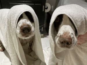 Jill and Jess would like to lodge a complaint about both hoomans being home all day because it means more baths.: Jill and Jess would like to lodge a complaint about both hoomans being home all day because it means more baths.