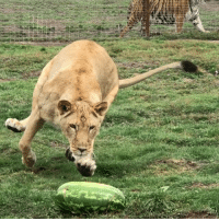 Memes, 🤖, and Her: Jimbo and Hermosa playing with their watermelon!! He was such a gentleman and let her play with it first, and then he came over to check it out and they were taking turns playing with it :) 🍉🐾 BlackJaguarWhiteTiger itsallforlove JimbosPrideBJWT SaveLions BeHuman RescuedLions @blackjaguarwhitetiger