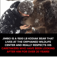 Memes, 🤖, and Him: JIMBO IS A 1500 LB KODIAK BEAR THAT  LIVES AT THE ORPHANED WILDLIFE  CENTER AND REALLY RESPECTS HIS  CARETAKERS WHO HAVE BEEN LOOKING  AFTER HIM FOR OVER 20 YEARS! Ultimate bear hug  #itsviral