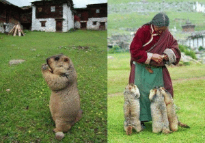 Aww, Blessed, and Tumblr: jmdj:  funnywildlife:  Himalayan marmots come for their regular feed by a caring lady, aww  Blessed image.