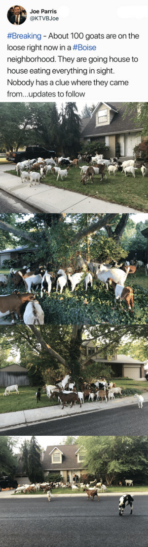 morathor: tastefullyoffensive: The goatpocalypse is upon us. (via KTVBJoe) Updates have since come on this subject; we now know where the goats came from and I gotta tell you, it is better than you could possibly imagine.  See. These goats got loose from a goat rental service. You may be thinking, who rents a goat?  Who rents a hundred goats?  What are they for? They're for eating. Specifically, they're for eating unwanted, flammable vegetation that can contribute to the spread of wildfires.  Some people whose property tends to grow such vegetation, keep their own goats.  But for some people it works out better to just rent some goats. So. These are Professional Eating Goats.  They are trained to thoroughly and methodically scour an area of plantlife.  And they came to the suburbs. And they did their jobs. I'm so proud of them. : Joe Parris  @KTVBJoe  #Breaking-About 100 goats are on the  loose right now in a #Boise  neighborhood. They are going house to  house eating everything in sight.  Nobody has a clue where they came  from...updates to follow morathor: tastefullyoffensive: The goatpocalypse is upon us. (via KTVBJoe) Updates have since come on this subject; we now know where the goats came from and I gotta tell you, it is better than you could possibly imagine.  See. These goats got loose from a goat rental service. You may be thinking, who rents a goat?  Who rents a hundred goats?  What are they for? They're for eating. Specifically, they're for eating unwanted, flammable vegetation that can contribute to the spread of wildfires.  Some people whose property tends to grow such vegetation, keep their own goats.  But for some people it works out better to just rent some goats. So. These are Professional Eating Goats.  They are trained to thoroughly and methodically scour an area of plantlife.  And they came to the suburbs. And they did their jobs. I'm so proud of them.