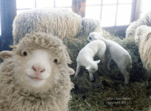 inlovewithammett:  juanzerker:   chubcakes: What a good sheep selfie.  Hangin out with the fam. #blessed   sheelfie : John Churchman  Copyright 2015 inlovewithammett:  juanzerker:   chubcakes: What a good sheep selfie.  Hangin out with the fam. #blessed   sheelfie