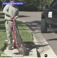 "Repost:@ABCNews-""Trapper pulls 9-foot alligator from manhole after it got stuck in Florida storm drain. The man who posted the video to Facebook wrote: ""Not something you see everyday in the neighborhood!"" 😳🐊 WSHH: JOHN RUELAFACEBOOK  Oldsmar Florida  abc Repost:@ABCNews-""Trapper pulls 9-foot alligator from manhole after it got stuck in Florida storm drain. The man who posted the video to Facebook wrote: ""Not something you see everyday in the neighborhood!"" 😳🐊 WSHH"
