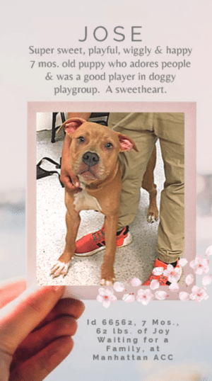 "Apparently, Beautiful, and Children: JOSE  Super sweet, playful, wiggly & happy  7 mos. old puppy who adores people  & was a good player in doggy  playgroup. A sweetheart.  Id 6656 2, 7 Mos.,  6 2 bs. of Joy  Waiting for a  F amily, at  Manhattan ACC TO BE KILLED – 6/25/2019  He's super sweet, wiggly, affectionate, playful and a good sport in doggy playgroup (watch is video with his new friend Dolly, below, and see!).  JOSE is simply adorable.  At 7 months old, he is just starting out life and he finds everything and everyone in it just amazing.  His tail never stops wagging, he has kisses and hugs for every person he meets, and if he is reacting on leash to dogs that are barking and lunging at him as he tries to make it down the aisle with his volunteer friends on the way to play yard, well – let's just say this – that's NORMAL!  Our own dogs are like that and would do exactly the same.  Close quarters, high stress, it's NOT like being in a home with a family who loves you and where you are relaxed, happy and feel safe and loved.  So why he is being fast tracked to the kill list is beyond us, since he has only been at the shelter 4 days!  We really need to see this beautiful, golden puppy walk out the front door of the shelter in 2 days, and into the arms of a loving, experienced family.  Please consider giving sweet, social, lovebug JOSE a soft place to land so he can live a long, full life.  Hurry and message our page or email us at MustLoveDogsNYC@gmail.com for assistance fostering or adopting him now.     MY MOVIES! Jose and friend, Dolly! https://www.youtube.com/watch?v=yVY9rDgXQQY    JOSE, ID# 66562, 7 Mos. Old, 62 lbs, Unaltered Male Manhattan ACC, Large Mixed Breed, Yellow/Gold I came to the shelter as an Agency, 6/9/2019 Shelter Assessment Rating:    LEVEL 3 Behavior Condition:  1. GREEN  AT RISK NOTE:   Jose has shown dog reactivity while on leash in the kennel environment with the potential to re-direct. Jose would be best suited for an adopter prepared to offer behavior modification and reward based training in a low stress environment. Medically, Jose seems healthy.  SHELTER ASSESSMENT SUMMARIES – DATE OF ASSESSMENT: 6/20/2019  Leash Walking  Strength and pulling: None  Reactivity to humans: None  Reactivity to dogs: None  Leash walking comments: None   Sociability  Loose in room (15-20 seconds): Highly social  Call over: Approaches readily  Sociability comments: Body soft   Handling  Soft handling: Seeks contact  Exuberant handling: Seeks contact  Handling comments: Body soft, leans in   Arousal  Jog: Follows (loose)  Arousal comments: None   Knock: Approaches (loose) Knock Comments: None   Toy: Grips, firm  Toy comments: None  PLAYGROUP NOTES – DOG TO DOG SUMMARIES:    Summary:: 6/20: When introduced off leash to the female greeter, Jose engages in vocal play with intent to mount.   6/22: Jose engages in exuberant play with a female dog.   ENERGY LEVEL:: We have no history on Jose so we cannot be certain of his behavior in a home environment. However, he is a young, enthusiastic, social dog who will need daily mental and physical activity to keep him engaged and exercised. We recommend long-lasting chews, food puzzles, and hide-and-seek games, in additional to physical exercise, to positively direct his energy and enthusiasm.   BEHAVIOR DETERMINATION:: Level 3 Behavior Asilomar: TM - Treatable-Manageable  Recommendations:: No children (under 13)  Recommendations comments:: No children: Jose began growling at handlers when they looped a second leash under his belly in order to help return him to his kennel. This shows that he is not fully comfortable with all handling and we feel he will be set up to succeed in an adult-only home.   Potential challenges: : Handling/touch sensitivity,On-leash reactivity/barrier frustration  Potential challenges comments:: Handling/touch sensitivity: At the care center, Jose displayed some handling sensitivity when returning him to his kennel. He growled when a second leash was looped underneath his belly in order to help get him back up into the kennel. This shows that he is not fully comfortable with all handling. Please see handout on Handling/touch sensitivity. On-leash reactivity/barrier frustration: At the care center, Jose has been observed to be on-leash reactive. While on leash in the hallway, he pulls towards and barks at both carts and people passing by. Please see handout on On-leash reactivity/barrier frustration.   Leash Walking  Strength and pulling: Moderate pulling  Reactivity to humans: None  Reactivity to dogs: None  Leash walking comments:   Sociability  Loose in room (15-20 seconds): Soft and loose, panting, ears back, tail high and wagging, approaches handler, jumps up softly onto handler's lap soliciting attention, explores somewhat, leans into and accepts all contact Call over: Approaches readily, exuberant, jumps up onto handler's lap Sociability comments:   Handling  Soft handling: Soft and wiggly, tail wagging, ears back, tense head, panting, soft head whips, mouths handler's hand (no pressure), leans into and accepts all contact  Exuberant handling: Soft and wiggly, tail wagging, ears back, tense head, panting, soft head whips, mouths handler's hand (no pressure), leans into and accepts all contact  Handling comments:   Arousal  Jog: Follows handler, soft and loose  Arousal comments: Distracted by objects in the room and bags on the floor   Knock  Knock Comments: Explores room when assistant exits; No response to knock; Approaches assistant, soft and loose   Toy  Toy comments: Grips and relinquishes, distracted by assess-a-hand   PLAYGROUP NOTES – DOG TO DOG SUMMARIES: According to Blue's previous owner, Blue did not socialize with other dogs while in their care.   6/8: When off leash at the Care Centers, Blue greets the novel female dog then explores the yard. After several minutes he re-approaches the greeter with chatter and whimpers. He exchanges rear sniffs then walks away.   6/21: Blue returned to group after his DOH hold was off. He greeted an novel female dog with a wiggle body. He immediately mounts her when he is let into the pen. Blue listens to interruptions but returns to mount the helper dog after a brief break.  Summary (1):: Blue understands the cues for ""sit,"" ""come,"" and ""down.""  INTAKE BEHAVIOR - Date of intake:: 6/6/2019 Summary:: Very hyper, friendly, accepted contact; Allowed all handling  MEDICAL BEHAVIOR - Date of initial:: 6/6/2019 Summary:: Initially very sweet, affectionate; Allowed most handling; Growled and snapped  ENERGY LEVEL:: Blue has been observed to exhibit a high level of energy during his interactions in the care center. We cannot be certain of his behavior in a home environment, but we recommend that he be provided daily mental and physical stimulation as an outlet for his energy.  Other Notes:: **Bite History as of 6/8/19** Blue was observed to begin barking in his kennel when a staff member walked by and offered him some treats. Blue was then observed to bite the staff member's hand, shake and release, resulting in broken skin and drawing blood  IN SHELTER OBSERVATIONS::   6/6/19: During a walk with Blue, he remained highly anxious (pacing, panting, whining). He continued to make several attempts to flee from handler, when he was unable to he made attempts to mount handler though was readily refocused with the use of treats. He displayed no social behavior and remained aloof and anxious throughout his walk. Blue was returned to his kennel without issue.   6/8/19: When the handler approached Blue's kennel, he was observed to be at the front and displayed a soft and loose body. He allowed the handler to place the rope around him with ease and walk him outside into the pens for a relief walk and interaction in the outside pens. During the interaction, Blue was observed to explore readily, staying near the handler and accepted contact. After about 5-10 minutes, Blue began to exhibit anxious behavior by pacing, panting and whining. Blue was then observed to attempt to mount the handler before slightly thrashing on the rope. He quickly settled on his own and the handler then started to walk Blue out of the pens to return him to his kennel, when Blue thrashed once more, jumped up and lowered his body to the ground. After allowing Blue to once again recover, he was observed to shake off and settle, display a soft and wiggly body and walked beside the handler back to his kennel.   6/10/19: Blue was laying down when the handler approached his kennel. The handler was able to place the rope around him easily and he walked out of his kennel without issue and outside for his relief walk. Blue displayed a relaxed body and was observed to readily explore the pens, but checked in with the handler to solicit attention and readily receiving treats. He was also observed to jump up onto the handler when aroused or soliciting attention. The handler had no issues returning him to his kennel after this interaction.   6/16/19: Blue was the front of the kennel when the handler approached and was easily leashed and brought out to play yard. He maintained a loose and wiggly body as a drag leash was attached. He bounced around the pens, but did not engage in play with toys that were offered to him. Blue did respond to the ""sit"" cue and clicker training was attempted. When the clicker was used, Blue would bounce around staff members with a wiggly body and would not receive the high value treats. When the session was over, Blue returned to his kennel without issue.   6/18/19: When the handler approached his kennel, Blue was observed to be laying down, but readily stood up and allowed the handler to leash him and walk him outside. During his interaction, Blue exhibited minimal interest when offered a tennis ball. He continued to readily accept treats softly. When the handler no longer offered treats, Blue was observed to attempt to mount the handler. He was returned to his kennel shortly after without issue.  BEHAVIOR DETERMINATION:: New Hope Only Behavior Asilomar: TM - Treatable-Manageable  Recommendations:: No children (under 13),Place with a New Hope partner  Recommendations comments:: No children (under 13): Due to Blue's overall level of anxiety, lack of basic manners and his bite history, we feel he would be best set up to succeed in an adult-only home at this time. Place with a New Hope partner: Although he displays social behavior, Blue exhibits a very high level of anxiety during his interactions in the care center. Due to this observation, as well as his recent bite history and lack of basic manners, we feel he would be best set up to succeed if placed with an experienced rescue partner who can allow him to acclimate and decompress at his own pace. Force-free, reward based training only is advised when introducing or exposing Blue to new and unfamiliar situations, as well as utilizing guidance from a qualified, professional trainer/behaviorist.   Potential challenges: : Basic manners/poor impulse control,Fearful/potential for defensive aggression,Anxiety,Bite history (human)  Potential challenges comments:: Basic manners: Blue exhibits a lack of basic manners during his interactions in the care center. Although he displays social behavior, Blue has been observed to jump up onto handler's exuberantly when soliciting attention or when aroused and engaged in play. Please refer to the handout for Basic manners/poor impulse control. Bite history (human): Blue has had a recent bite incident during his interactions in the care center where he was observed to bite the hand of a staff member when being offered treats in his kennel. This bite resulted in broken skin and drawing blood (SEE OTHER NOTES). Please refer to the handout for Bite history (human). Fearful/potential for defensive aggression: Although Blue has shown significant improvement and displays social behavior with staff, he has been observed to escalate to growling and snapping toward handlers when fearful or uncomfortable. This behavior was observed during his initial medical exam. Please refer to the handout for Fearful/potential for defensive aggression. Anxiety: Blue displays anxious behavior during his interactions in the care center, observed on multiple occasions. Although Blue solicits attention and accepts all contact, when interacting with staff, he has been observed to pace, pant, whine and escalates to mounting handlers. Please refer to the handout for Generalized Anxiety.  MEDICAL NOTES  6/21/2019 [DVM Intake] DVM Intake Exam Estimated age: 7 months Microchip noted on Intake? No History : Brought in by the police. Found roaming around in a building. Subjective: BAR Observed Behavior -Friendly. Wagging his tail the entire time. Very hyper. Did well with handling. Does not like the other dogs. Evidence of Cruelty seen -No Evidence of Trauma seen -No Objective T = P =120 bpm R =eup BCS 5/9 EENT: Eyes clear, ears clean, no nasal or ocular discharge noted Oral Exam: Clean teeth PLN: No enlargements noted H/L: NSR, NMA, CRT < 2, Lungs clear, eupnic ABD: Non painful, no masses palpated U/G: M/I, both down MSI: Ambulatory x 4, skin free of parasites, no masses noted, healthy hair coat CNS: Mentation appropriate - no signs of neurologic abnormalities Rectal: Clean externally Assessment: Apparently healthy Prognosis: Good Plan: No tx needed at this time SURGERY: Okay for surgery   *** TO FOSTER OR ADOPT ***  HOW TO RESERVE A ""TO BE KILLED"" DOG ONLINE (only for those who can get to the shelter IN PERSON to complete the adoption process, and only for the dogs on the list NOT marked New Hope Rescue Only). Follow our Step by Step directions below!   *PLEASE NOTE – YOU MUST USE A PC OR TABLET – PHONE RESERVES WILL NOT WORK! **   STEP 1: CLICK ON THIS RESERVE LINK: https://newhope.shelterbuddy.com/Animal/List  Step 2: Go to the red menu button on the top right corner, click register and fill in your info.   Step 3: Go to your email and verify account  \ Step 4: Go back to the website, click the menu button and view available dogs   Step 5: Scroll to the animal you are interested and click reserve   STEP 6 ( MOST IMPORTANT STEP ): GO TO THE MENU AGAIN AND VIEW YOUR CART. THE ANIMAL SHOULD NOW BE IN YOUR CART!  Step 7: Fill in your credit card info and complete transaction   HOW TO FOSTER OR ADOPT IF YOU *CANNOT* GET TO THE SHELTER IN PERSON, OR IF THE DOG IS NEW HOPE RESCUE ONLY!   You must live within 3 – 4 hours of NY, NJ, PA, CT, RI, DE, MD, MA, NH, VT, ME or Norther VA.   Please PM our page for assistance. You will need to fill out applications with a New Hope Rescue Partner to foster or adopt a dog on the To Be Killed list, including those labelled Rescue Only. Hurry please, time is short, and the Rescues need time to process the applications.  Shelter contact information Phone number (212) 788-4000  Email adoption@nycacc.org  Shelter Addresses: Brooklyn Shelter: 2336 Linden Boulevard Brooklyn, NY 11208 Manhattan Shelter: 326 East 110 St. New York, NY 10029 Staten Island Shelter: 3139 Veterans Road West Staten Island, NY 10309    *** NEW NYC ACC RATING SYSTEM ***  Level 1 Dogs with Level 1 determinations are suitable for the majority of homes. These dogs are not displaying concerning behaviors in shelter, and the owner surrender profile (where available) is positive.   Level 2  Dogs with Level 2 determinations will be suitable for adopters with some previous dog experience. They will have displayed behavior in the shelter (or have owner reported behavior) that requires some training, or is simply not suitable for an adopter with minimal experience.    Level 3 Dogs with Level 3 determinations will need to go to homes with experienced adopters, and the ACC strongly suggest that the adopter have prior experience with the challenges described and/or an understanding of the challenge and how to manage it safely in a home environment."