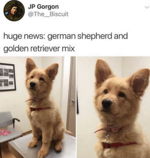 News, German Shepherd, and Golden Retriever: JP Gorgon  @The Biscuit  huge news: german shepherd and  golden retriever mix Public Service Announcement