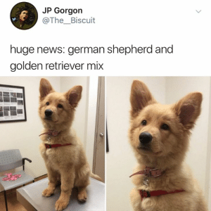 Dank, News, and German Shepherd: JP Gorgon  @The_Biscuit  huge news: german shepherd and  golden retriever mix must pet it