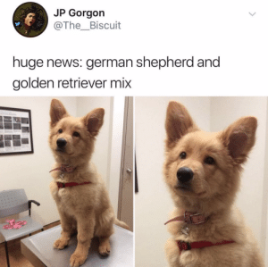 Bubba, Cute, and News: JP Gorgon  @The_Biscuit  huge news: german shepherd and  golden retriever mix Here's the deal. I'm no dog scientist, but this is the fluffiest cute bubba I've ever seen.Tw the__bisquit